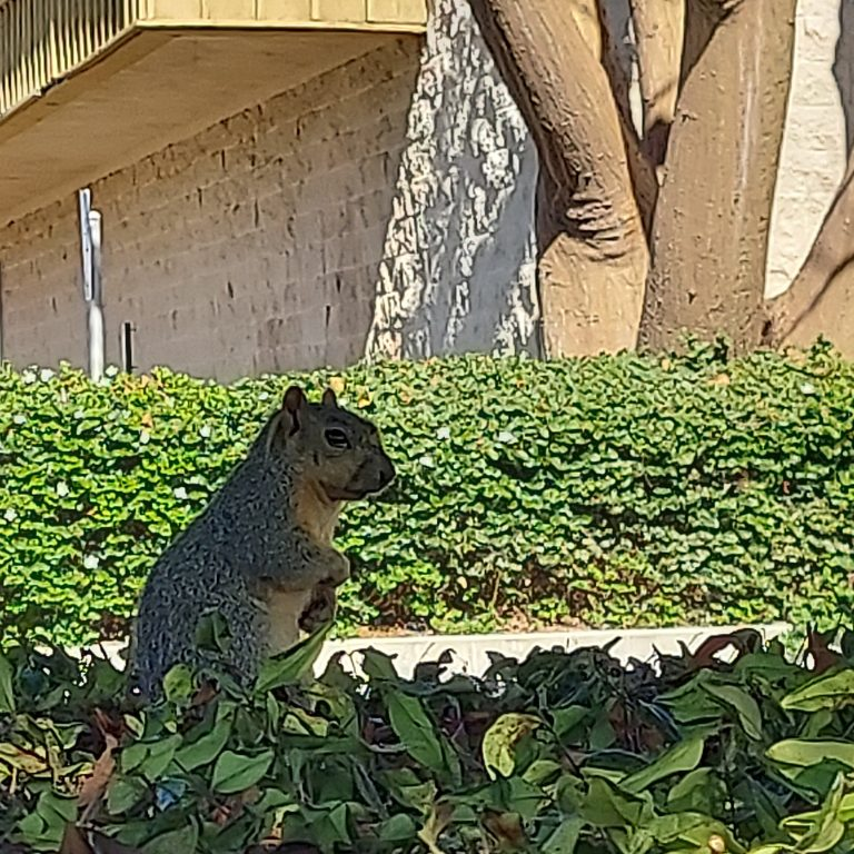 Squirrel In The Bushes